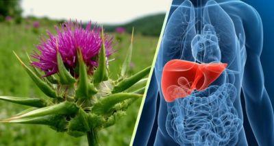 Γαιδουράγκαθο: Αυτό το Φυτό μπορεί να Σώσει το Συκώτι σας και τη Ζωή σας!