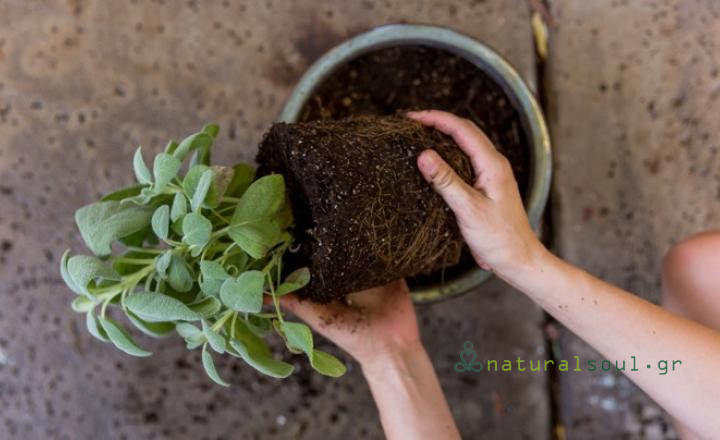 Καλλιεργήστε Φασκόμηλο: Τα Μυστικά της Καλλιέργιας και τα Οφέλη για την Υγεία!