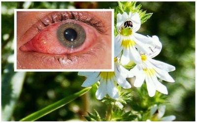 Ευφρασία: Βελτιώνει την Όραση ακόμα και σε άτομα άνω των 70 ετών