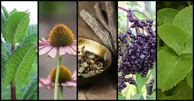 Αντιιικά βότανα! Ενίσχυση του Ανοσοποιητικού και Καταπολέμηση Λοιμώξεων!